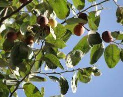 Sidr tree